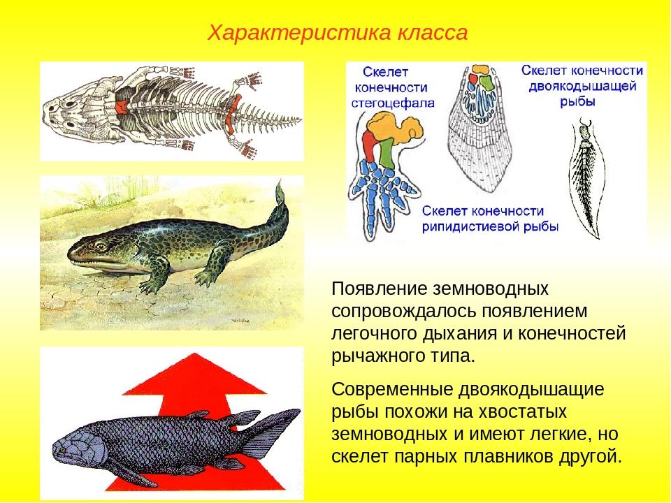 Характеристика класса Появление земноводных сопровождалось появлением легочно...