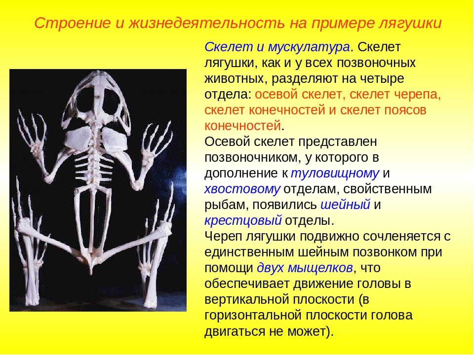 Строение и жизнедеятельность на примере лягушки Скелет и мускулатура. Скелет...