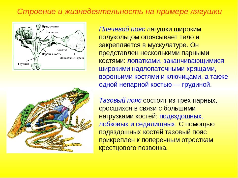 Плечевой пояс лягушки широким полукольцом опоясывает тело и закрепляется в му...