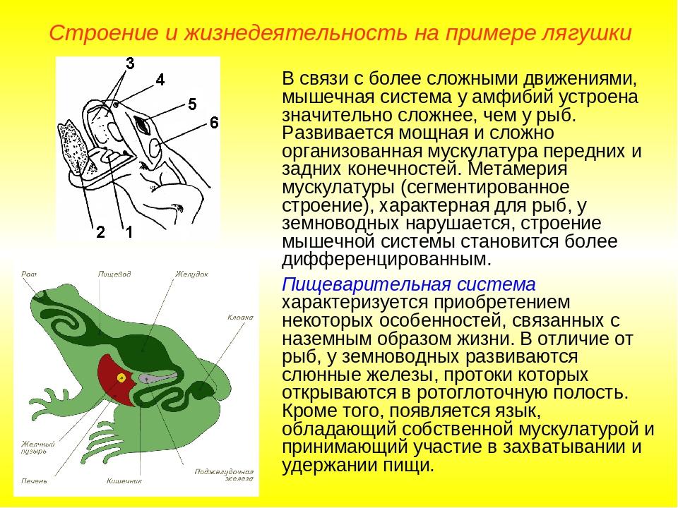 В связи с более сложными движениями, мышечная система у амфибий устроена знач...