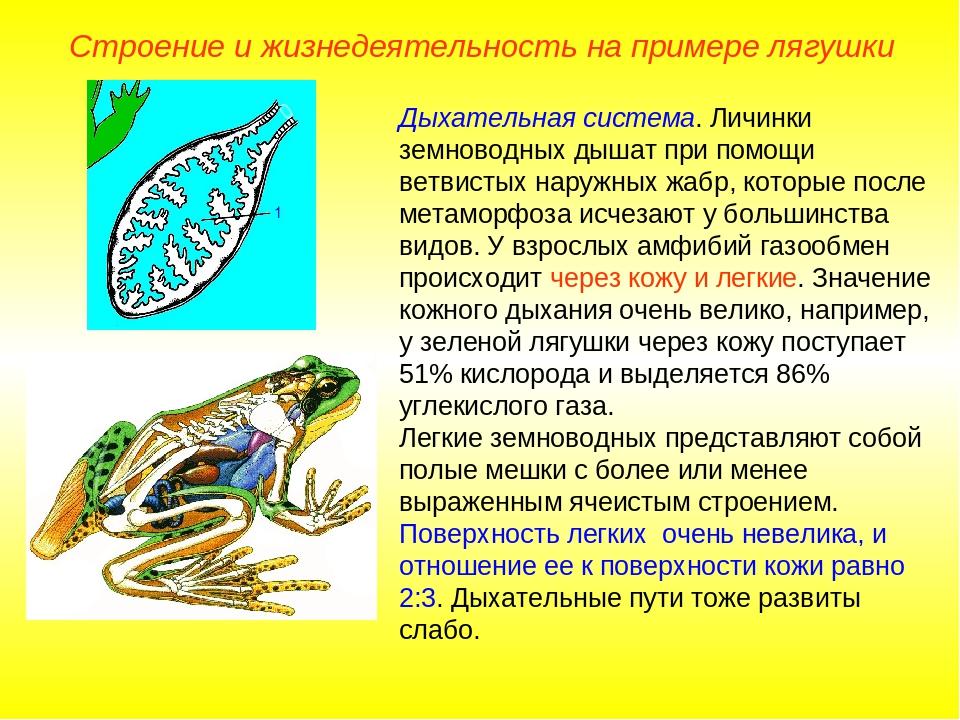 Дыхательная система. Личинки земноводных дышат при помощи ветвистых наружных...
