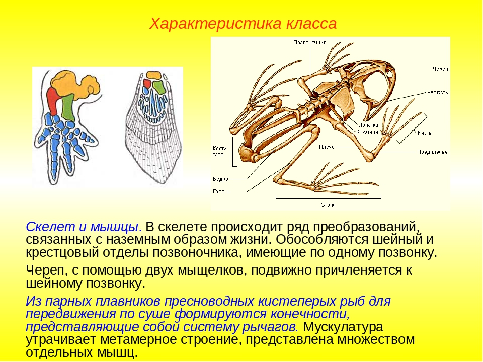 Характеристика класса Скелет и мышцы. В скелете происходит ряд преобразований...