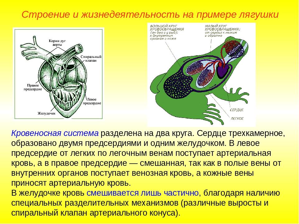 Кровеносная система разделена на два круга. Сердце трехкамерное, образовано д...