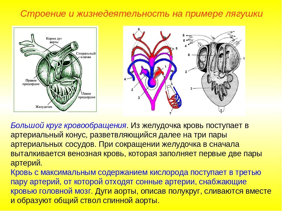 Большой круг кровообращения. Из желудочка кровь поступает в артериальный кону...