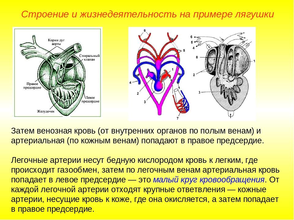 Затем венозная кровь (от внутренних органов по полым венам) и артериальная (п...