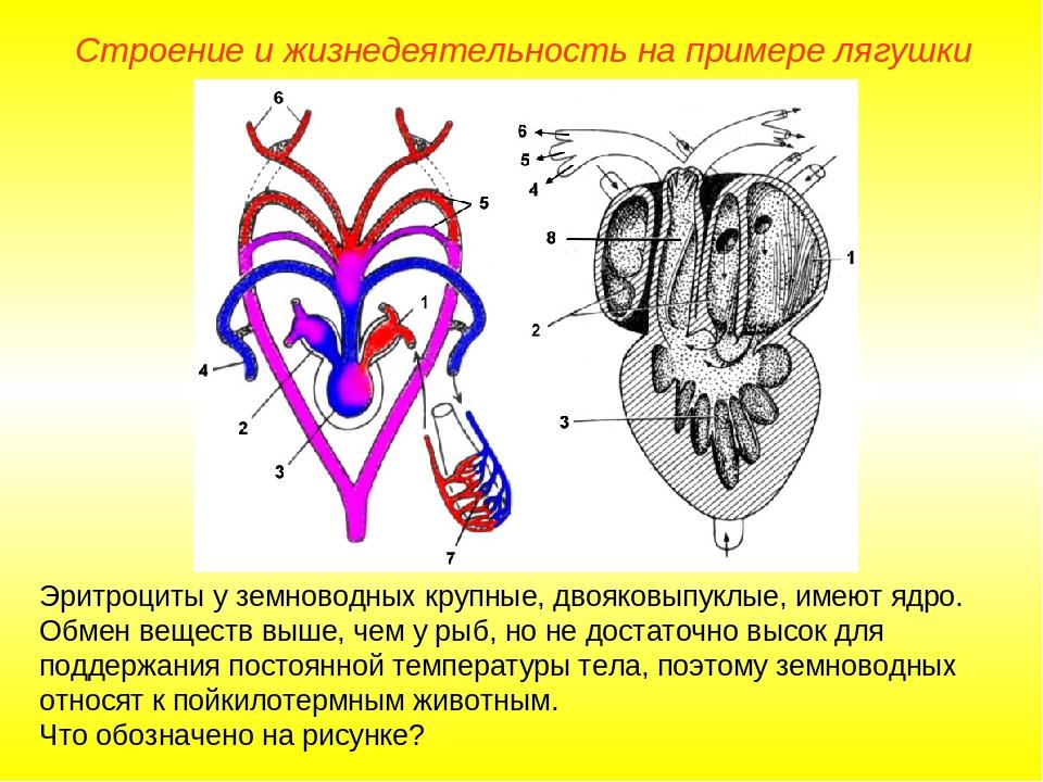 Эритроциты у земноводных крупные, двояковыпуклые, имеют ядро. Обмен веществ в...