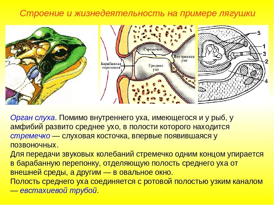 Орган слуха. Помимо внутреннего уха, имеющегося и у рыб, у амфибий развито ср...