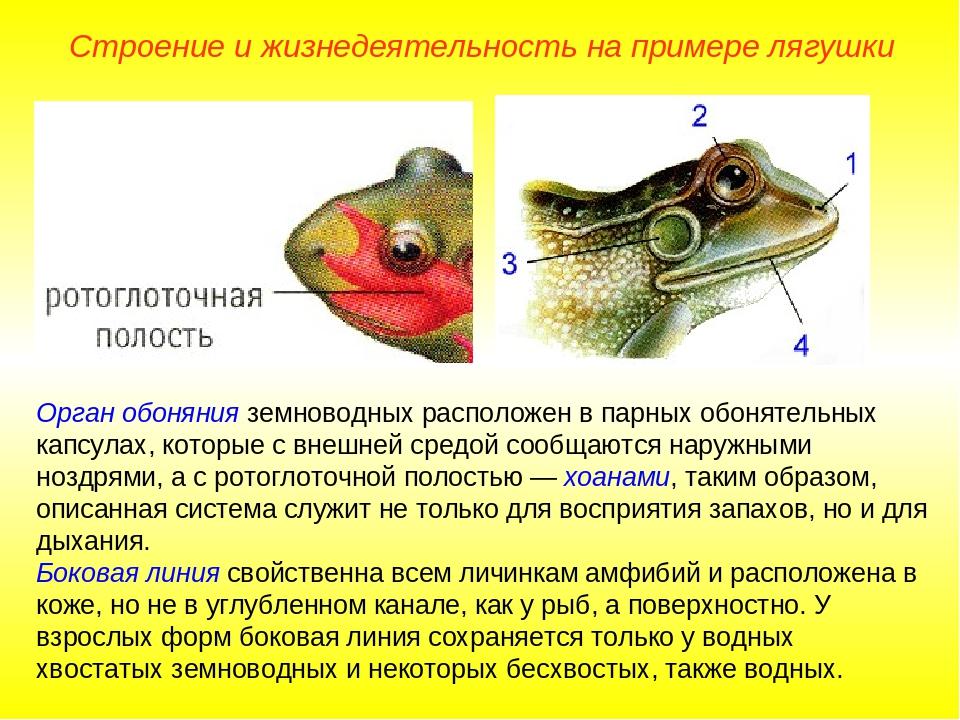 Орган обоняния земноводных расположен в парных обонятельных капсулах, которые...