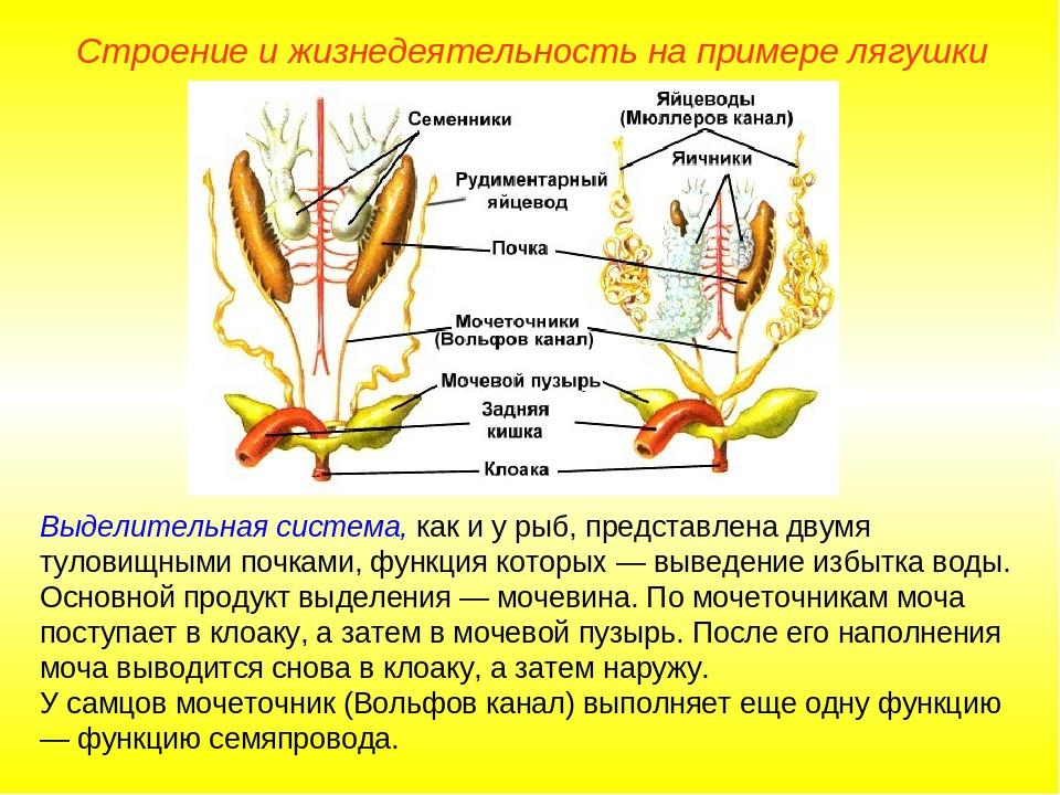 Выделительная система, как и у рыб, представлена двумя туловищными почками, ф...