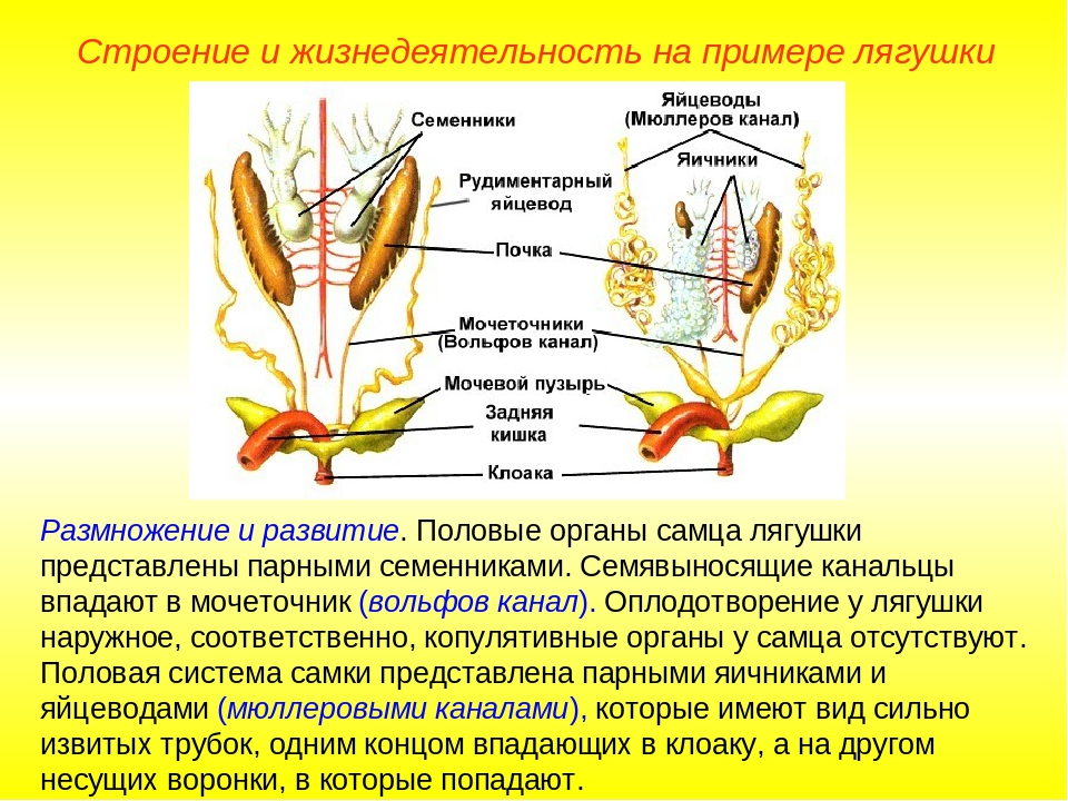 Размножение и развитие. Половые органы самца лягушки представлены парными сем...