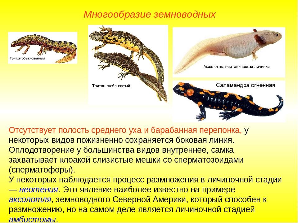 Многообразие земноводных Отсутствует полость среднего уха и барабанная перепо...