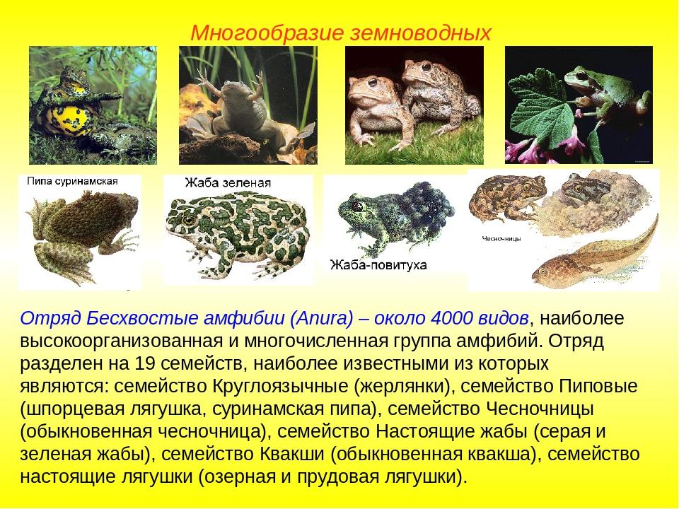 Многообразие земноводных Отряд Бесхвостые амфибии (Anura) – около 4000 видов,...