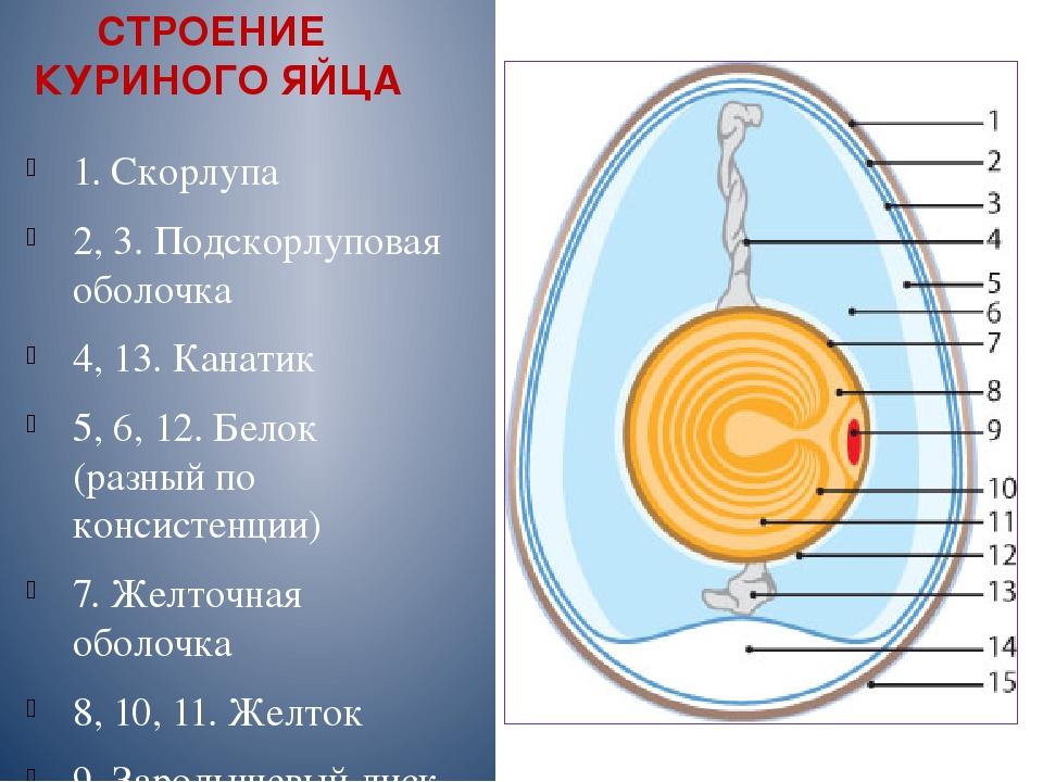 Схема строения куриного яйца желток - это женская половая клетка