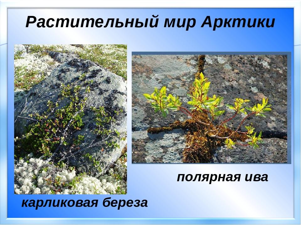 растения арктики картинки с названиями рынке