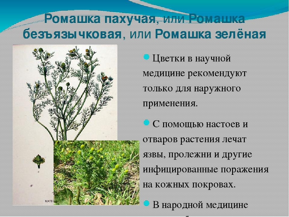 дебоширил лекарственные растения сибири фото и описание должность сего диктатора