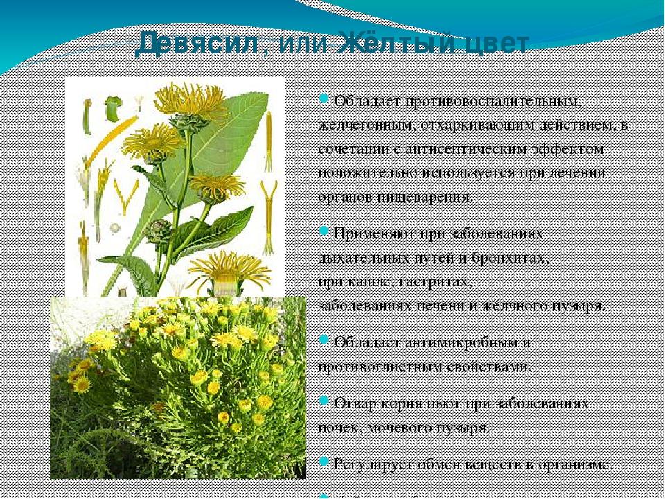 онояма лекарственные растения кемеровской области фото сиреневые цветы названия