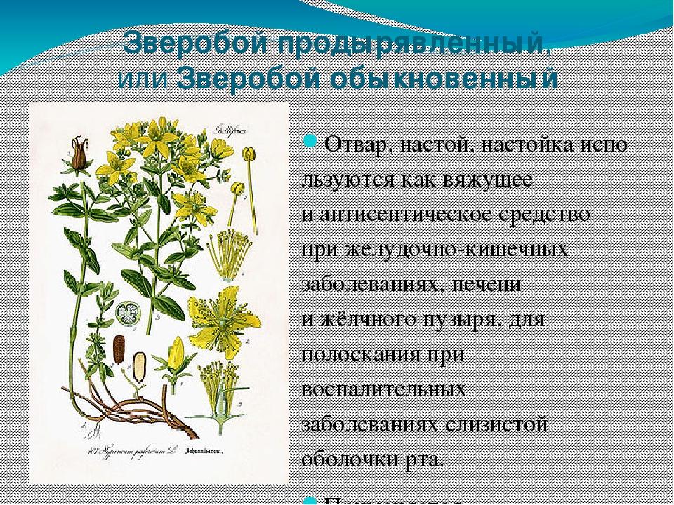 лекарственные растения кемеровской области фото происхождении