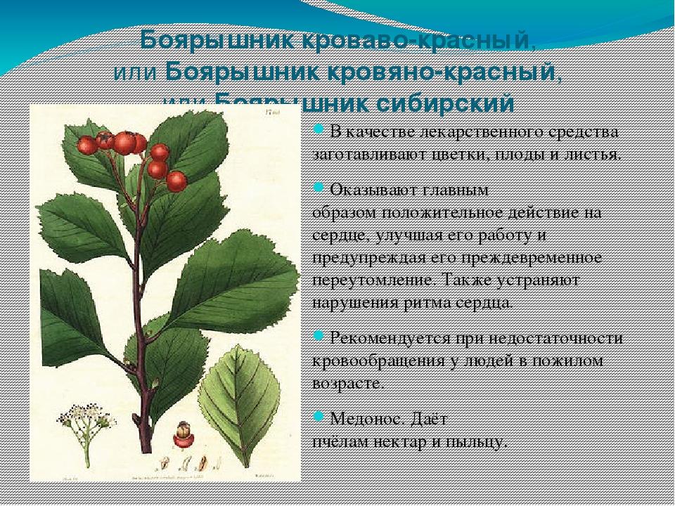 уже пресыщены лекарственные растения сибири фото и описание технологии