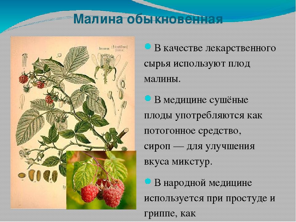 Лекарственные растения леса картинки и описание
