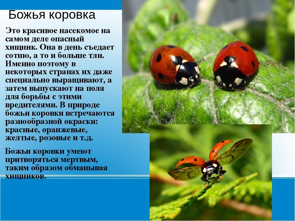 Позднее, полагая, что они живут на небесах и спускаются на землю передать волю божью, христиане стали называть этих насекомых слугами самой богородицы.