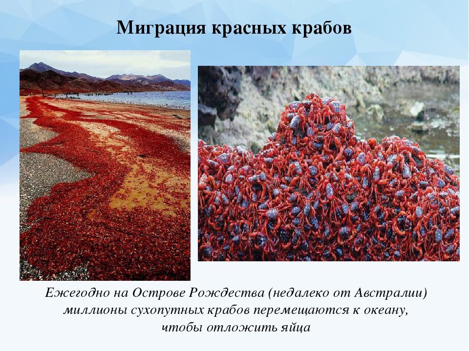 Декабрь ювелирная миграция красных крабов в австралии Чехова Москвы