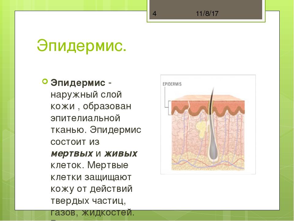 Эпидермис. Эпидермис - наружный слой кожи , образован эпителиальной тканью. Э...