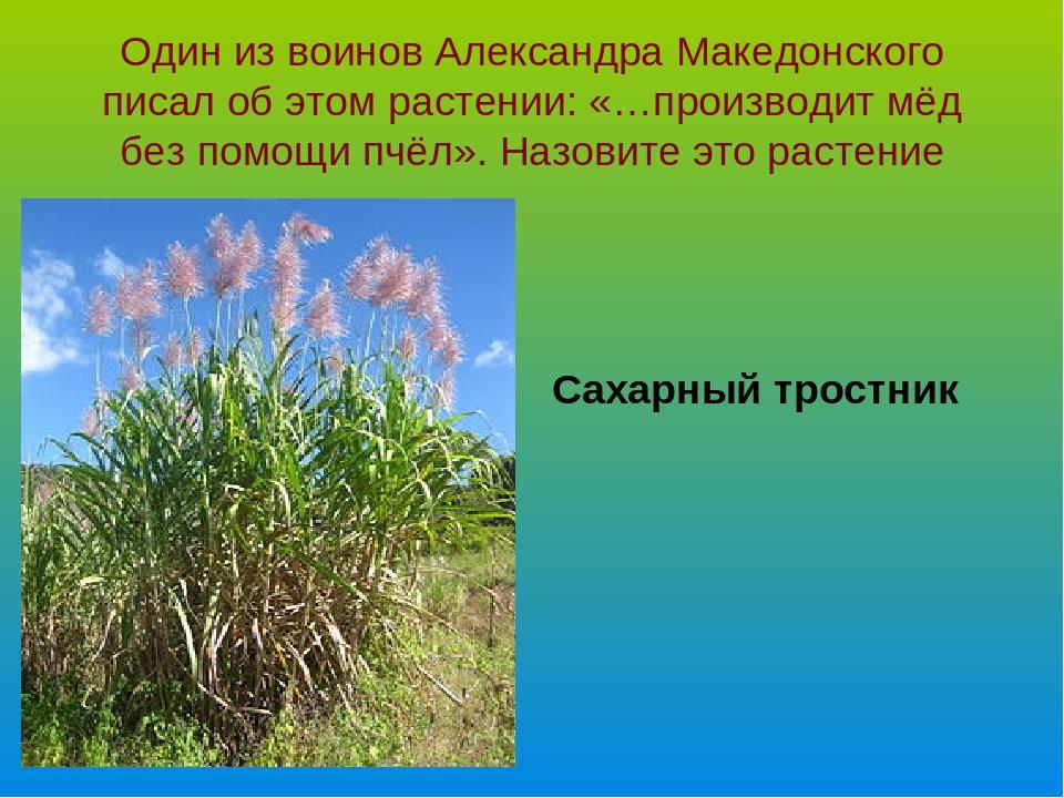 Один из воинов Александра Македонского писал об этом растении: «…производит м...