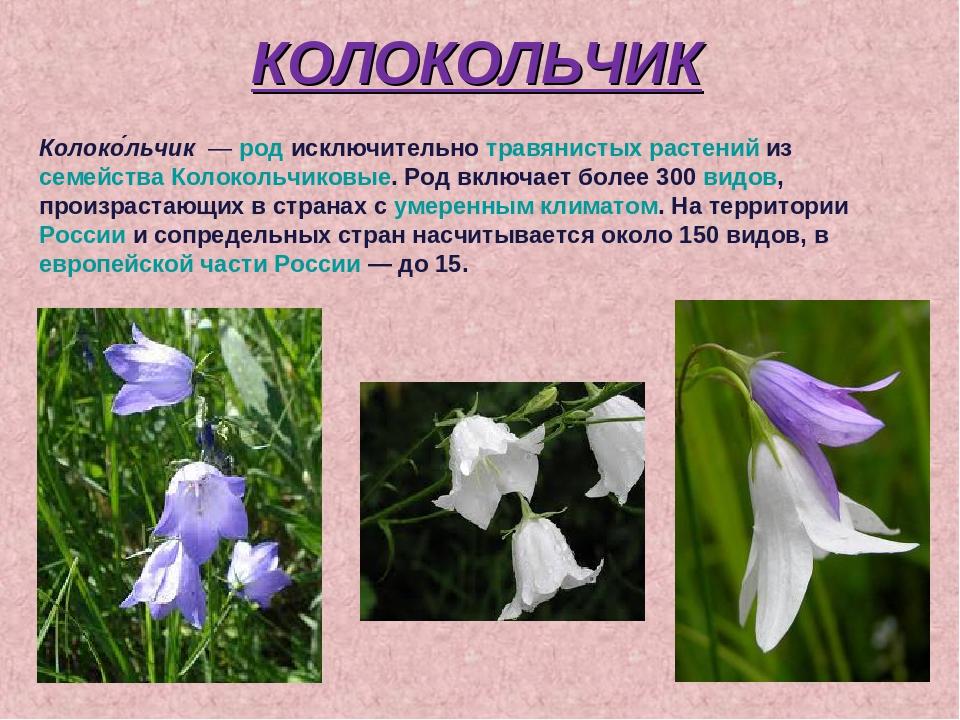 картинка и описание цветка колокольчик иногда очень полезная
