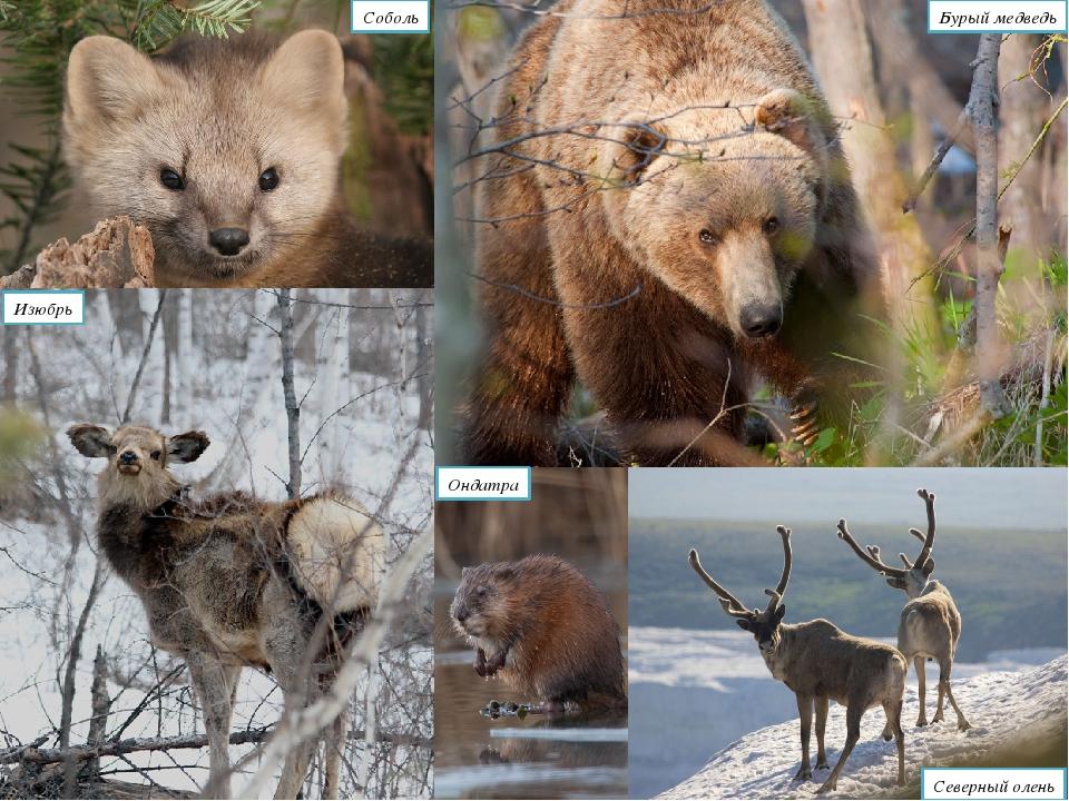 Соболь Бурый медведь Северный олень Изюбрь Ондатра