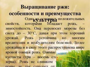 Выращивание ржи: особенности и преимущества культуры Одно из основных положит