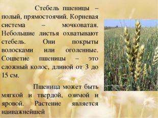 Стебель пшеницы – полый, прямостоячий. Корневая система – мочковатая. Небол