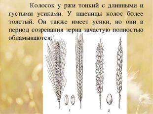 Колосок у ржи тонкий с длинными и густыми усиками. У пшеницы колос более тол