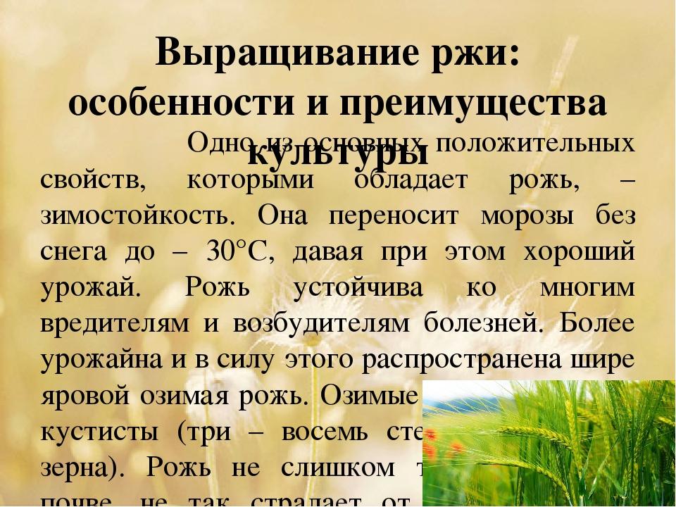 Выращивание ржи: особенности и преимущества культуры Одно из основных положит...