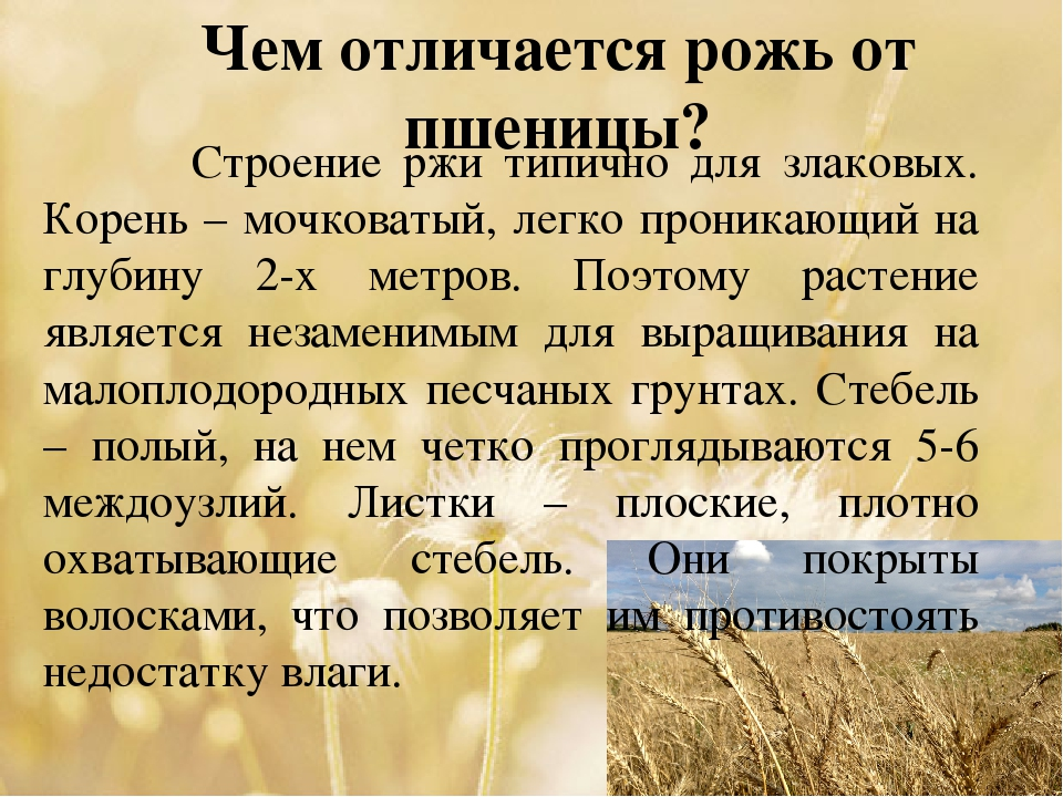 Чем отличается рожь от пшеницы? Строение ржи типично для злаковых. Корень – м...
