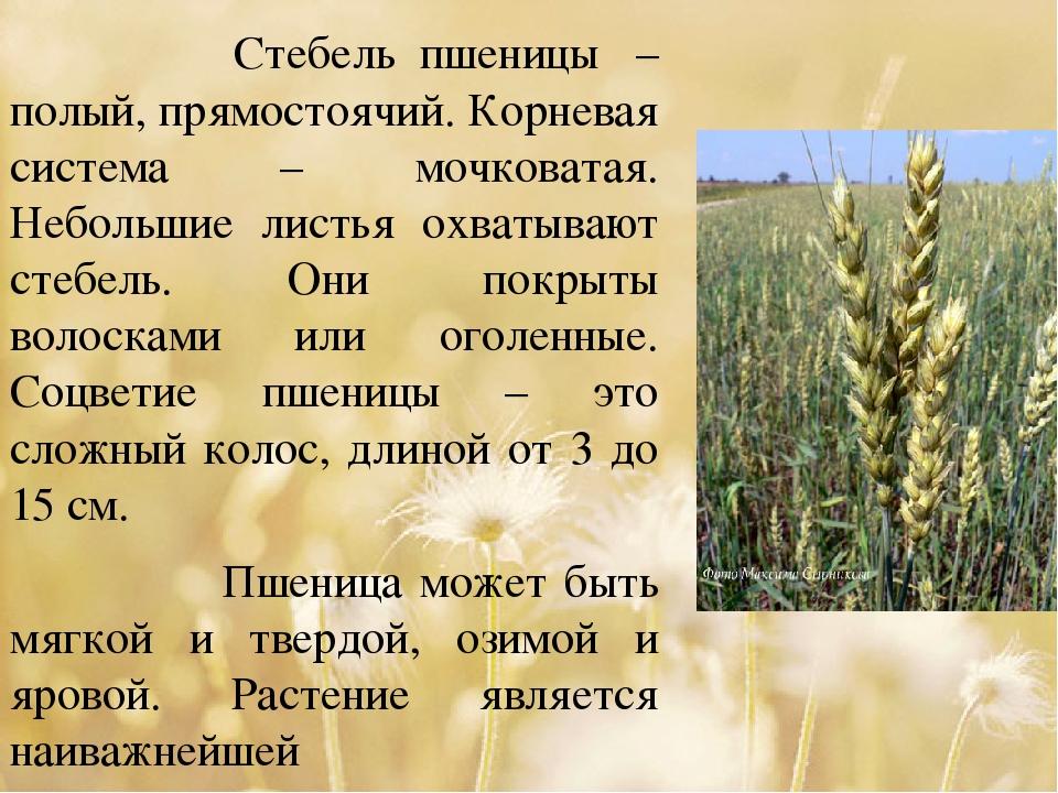 Стебель пшеницы – полый, прямостоячий. Корневая система – мочковатая. Небол...