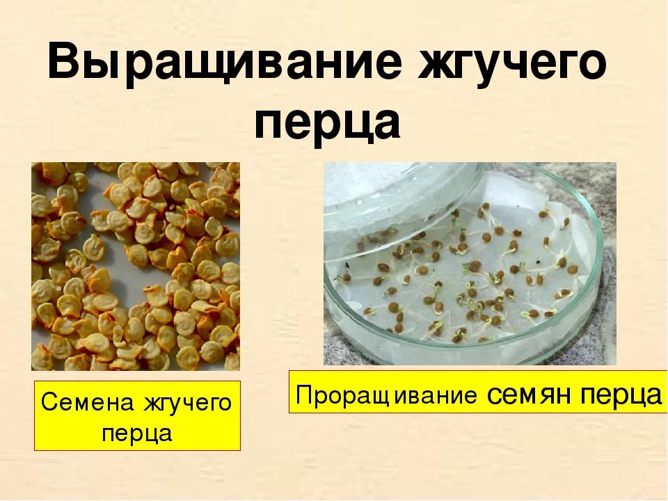 Выращивание жгучего перца Семена жгучего перца Проращивание семян перца