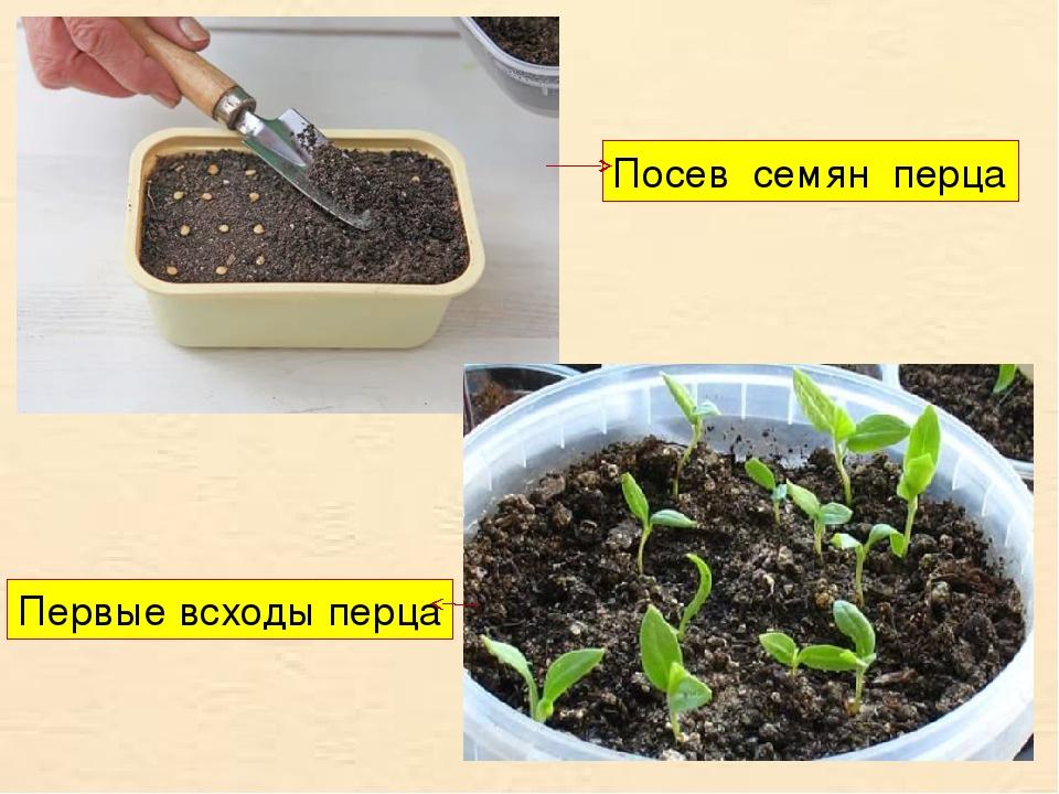 Посев семян перца Первые всходы перца