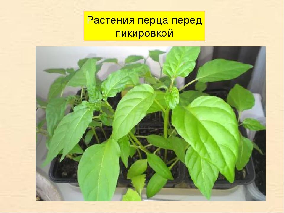 Растения перца перед пикировкой