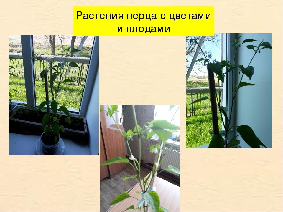 Растения перца с цветами и плодами