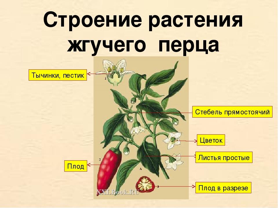 Строение растения жгучего перца Тычинки, пестик Плод Листья простые Плод в ра...
