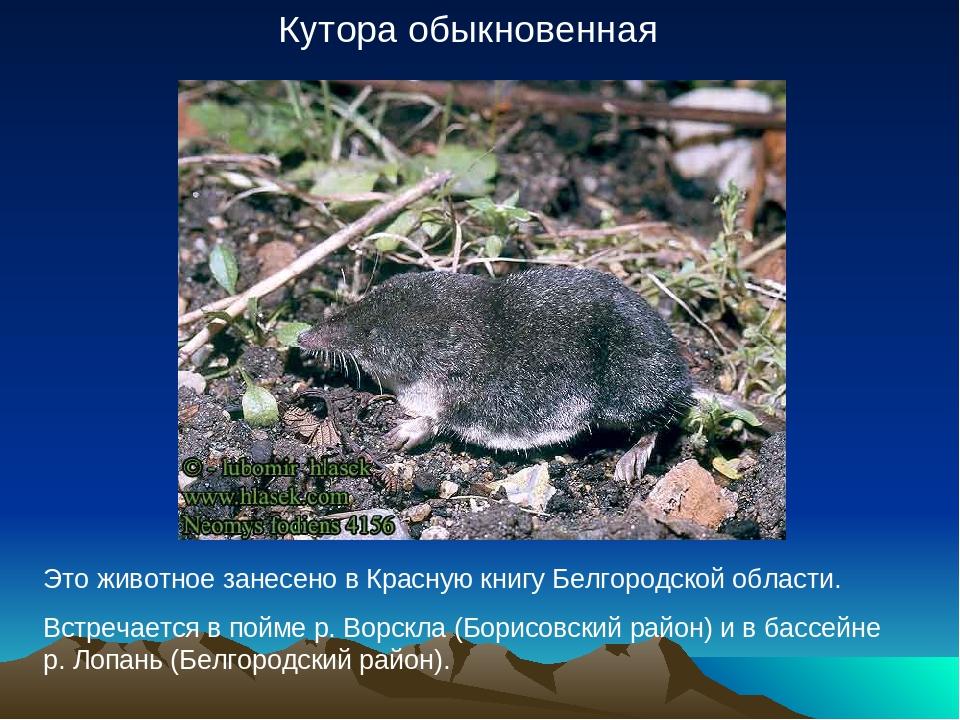 Кутора обыкновенная Это животное занесено в Красную книгу Белгородской област...