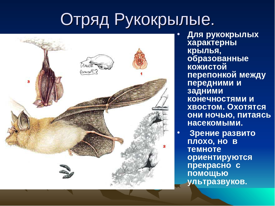 Отряд Рукокрылые. Для рукокрылых характерны крылья, образованные кожистой пер...