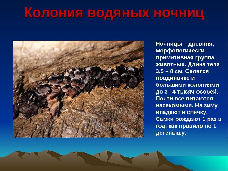 Колония водяных ночниц Ночницы – древняя, морфологически примитивная группа ж...