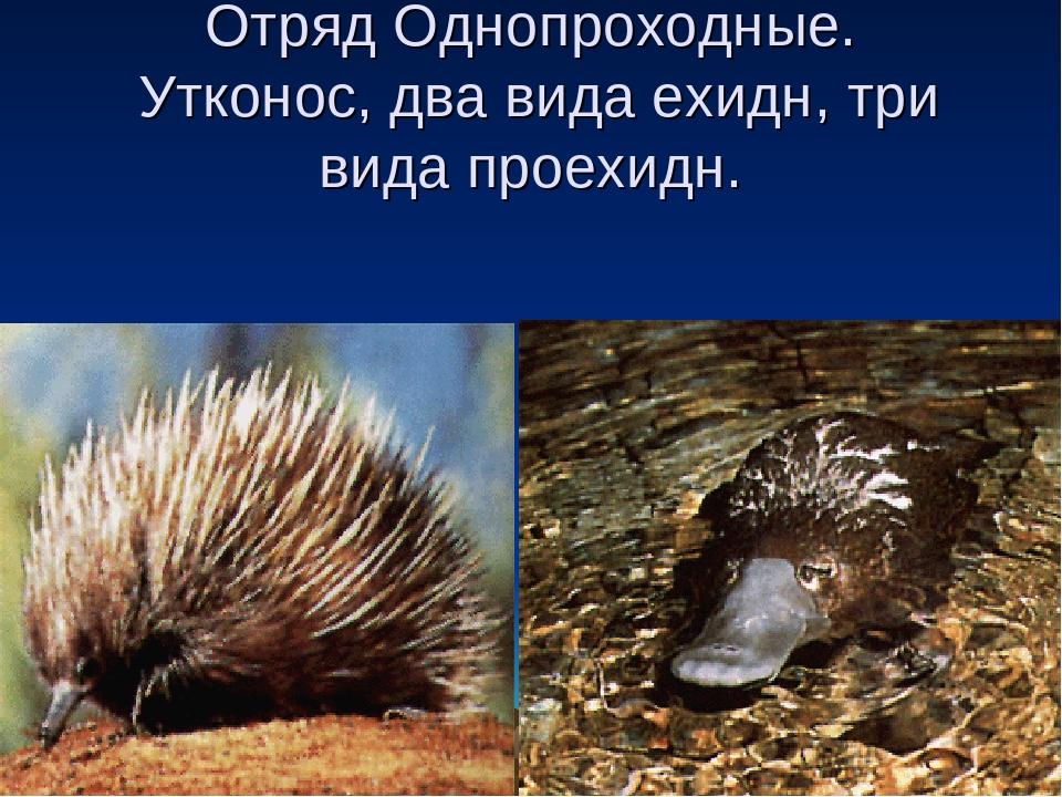 Отряд Однопроходные. Утконос, два вида ехидн, три вида проехидн.