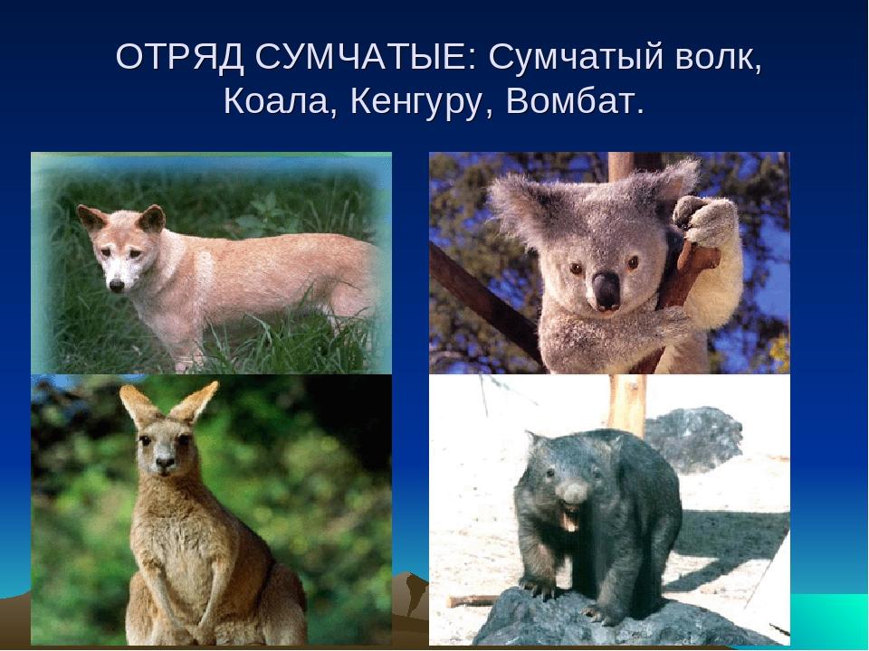 ОТРЯД СУМЧАТЫЕ: Сумчатый волк, Коала, Кенгуру, Вомбат.