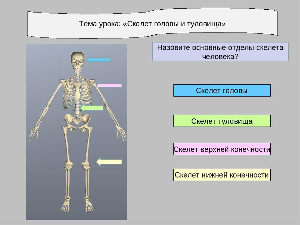 Тема урока: «Скелет головы и туловища» Скелет нижней конечности Скелет верхне...