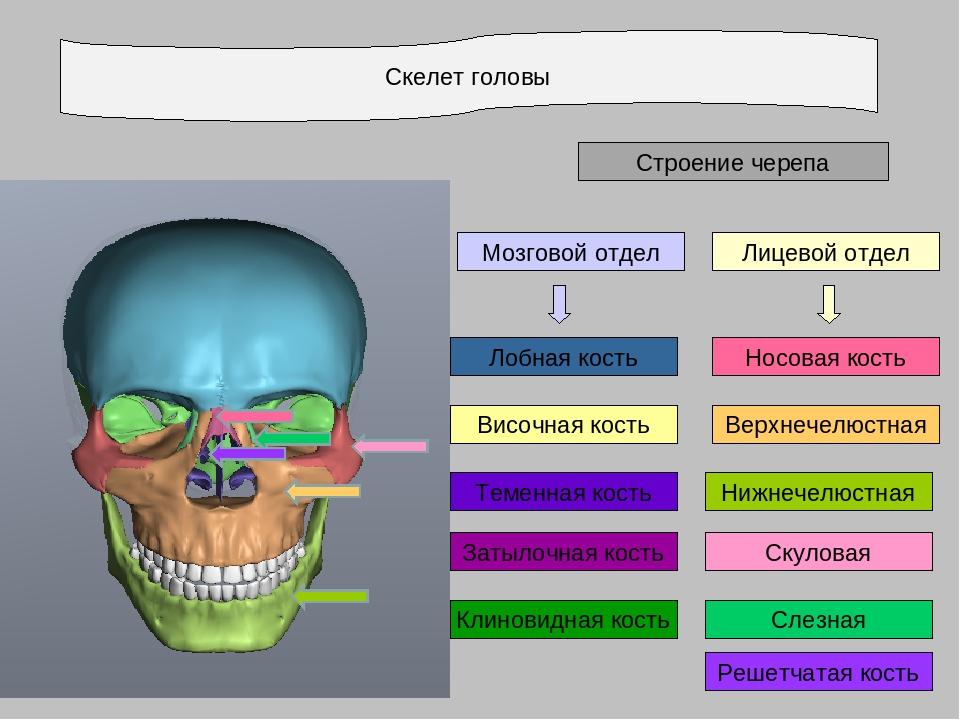 Скелет головы Строение черепа Лицевой отдел Затылочная кость Теменная кость В...