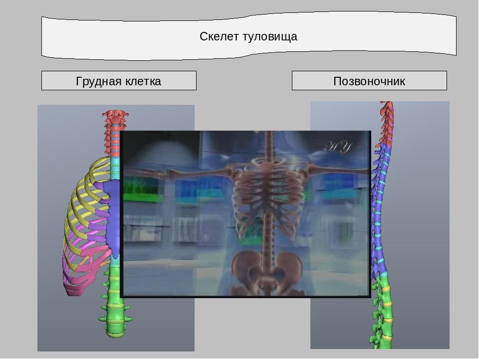 Скелет туловища Грудная клетка Позвоночник