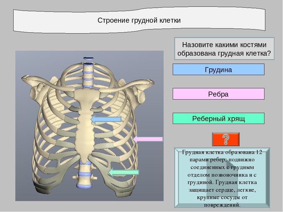 Строение грудной клетки Реберный хрящ Ребра Грудина Грудная клетка образована...
