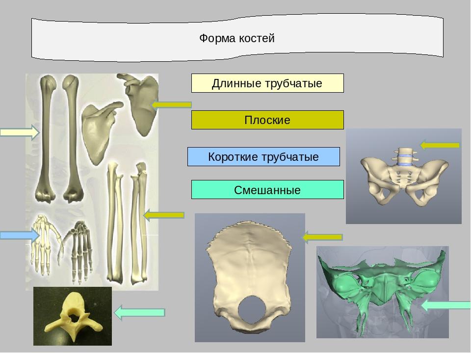 Форма костей Длинные трубчатые Короткие трубчатые Плоские Смешанные